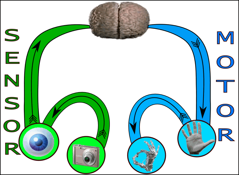 sensory system essay This essay is about the somatosensory system, which is divided into  sensory  systems vision, audition, taste, smell and touch (field, 2001.